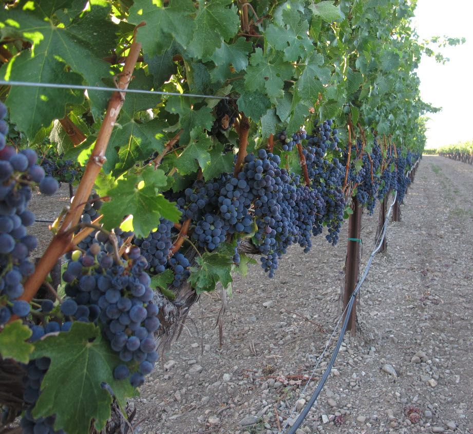 Grapes in a row